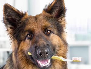 Køb en god tandbørste for at gøre det lettere at børste din hunds tænder, og brug masser af godbidder for at gøre det let som en leg.
