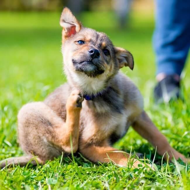 Hvordan man slipper af med flåter på hunde