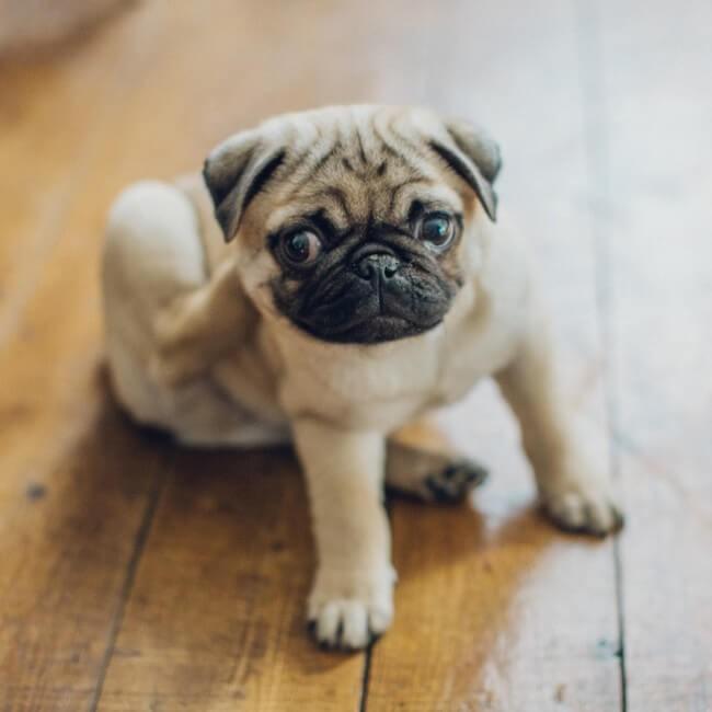 10 almindelige hudproblemer hos hunde