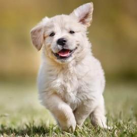 Hvorfor er multivitaminer gode for din hund?