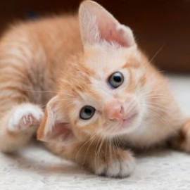 Hvordan slipper man af med kattelopper?